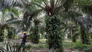 Photo of رويترز: الهند تستأنف شراء زيت النخيل الماليزي