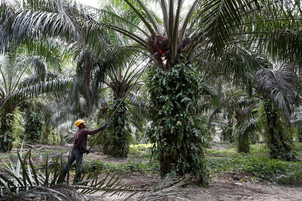 رويترز: الهند تستأنف شراء زيت النخيل الماليزي
