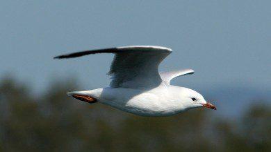 "Photo of استجلاب 30 طائرًا نادرًا من اليابان إلى ""بيراك"" قريبًا"