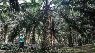 صورة بعد الإعلان عن انخفاض إنتاجه عالمياً.. ارتفاع سعر زيت النخيل الماليزي
