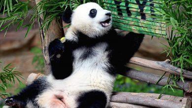 صورة الباندا.. قصة العلاقات الثنائية بين ماليزيا والصين