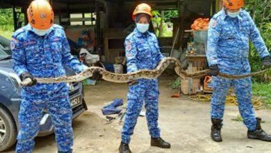 صورة الدفاع المدني الماليزي ينقذ عائلة من أفعى بطول 8 أمتار