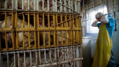 صورة حريق ضخم يلتهم إحدى المزارع في كوانتان ونفوق 7000 دجاجة