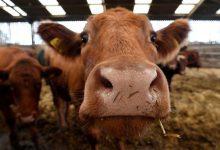 صورة ماليزيا توقف كل واردات الماشية من تايلاند بسبب مرض الجلد العقدي
